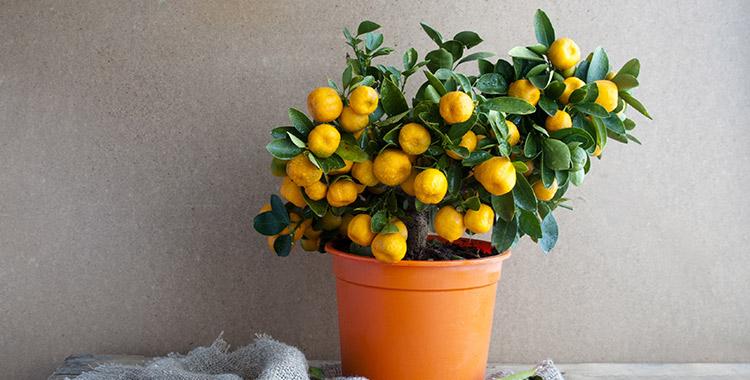 Limão siciliano cultivado em um vaso